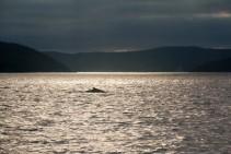 Whale Aquaforte